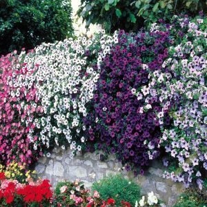 Petunia cascading Coll. Blue/Pink/Red P10