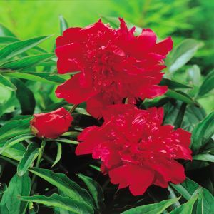 Paeonia double flowering Red