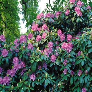 Rhododendron catawbiense Blue P9