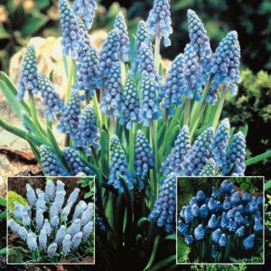 Muscari collection A (3 x 20)