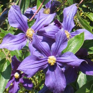 Clematis The President P 11