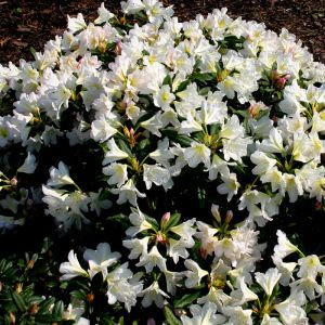 Rhododendron Silver Sixpence 9 cm pot