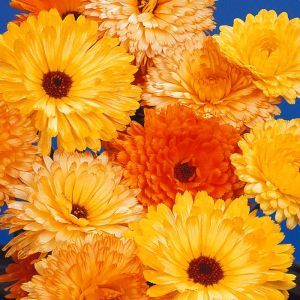 Marigold Pacific Beauty Seed Bag Picture