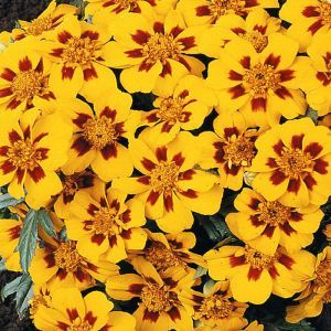 French marigold Granada Seed Bag Picture