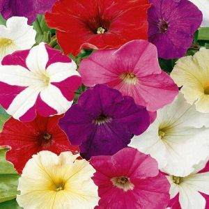 Petunia dwarf mixed Seed Bag Picture