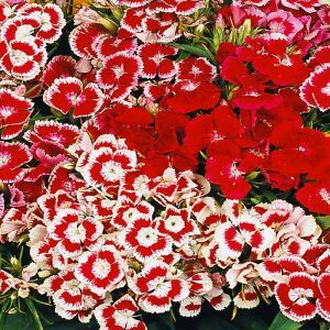 Dianthus Sweet William Seed Bag Picture