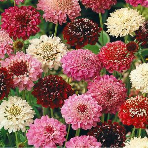 Scabiosa mix Seed Bag Picture