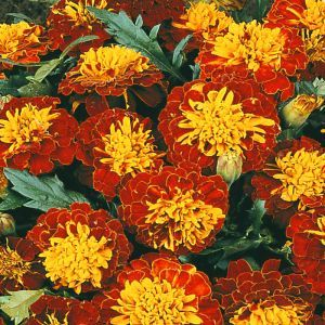 French marigold Harmony Boy Seed Bag Picture