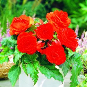 Begonia Non Stop Red 3/4