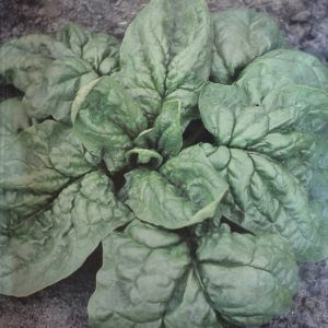 Spinach Nores seed bag