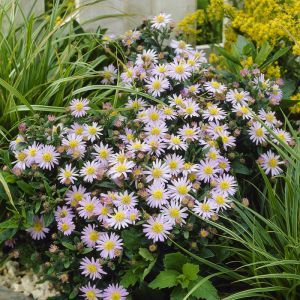 Aster ageratoides Stardust 9 cm