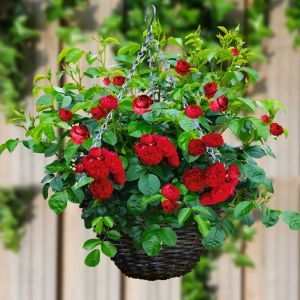 Fairy Rose Red x 3 + Basket