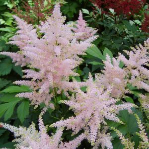 Astilbe Japonica Europa Bare Root